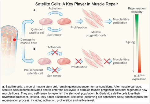 what triggers geriatric muscle loss? | exercise medicine, Muscles