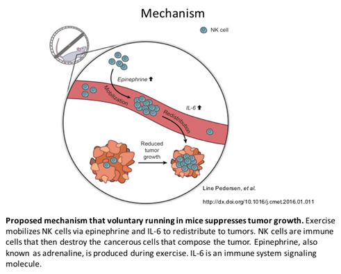 Proposed mechanism that voluntary running in mice suppresses tumor growth. Exercise mobilizes NK cells via epinephrine and IL-6 to redistribute to tumors. NK cells are immune cells that then destroy the cancerous cells that compose the tumor. Epinephrine, also known as adrenaline, is produced during exercise. IL-6 is an immune system signaling molecule.